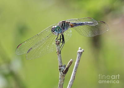 Photograph - Dragonfly Against Green Backdrop by Carol Groenen