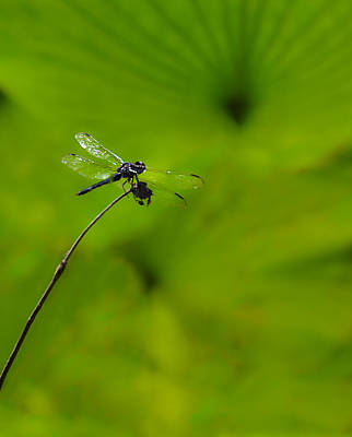 Photograph - Dragonfly Among Lily Pads by Greg Jackson