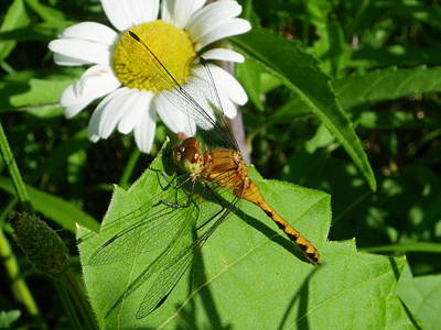 Photograph - Dragonfly And Daisy by Peggy King