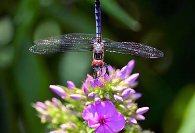 Dragonfly And Phlox Art Print