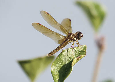 Photograph - Dragonfly Angel by Christopher Purcell