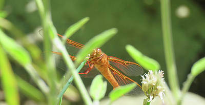 Photograph - Dragonfly Art - Images From The Garden by Brooks Garten Hauschild