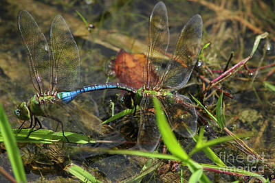 Dragonflies Mating Photograph - Dragonfly Beauty Reproduction Art by Reid Callaway