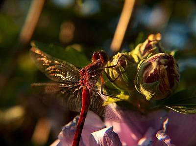 Brass Dragonfly Photograph - Dragonfly by Belinda Cox