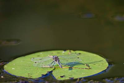 Photograph - Dragonfly by Benjamin Dahl