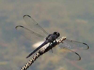 Dragonfly Black Art Print by Lisa Stanley