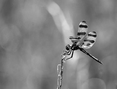 Photograph - Dragonfly - Bw15-01 by Maria Urso