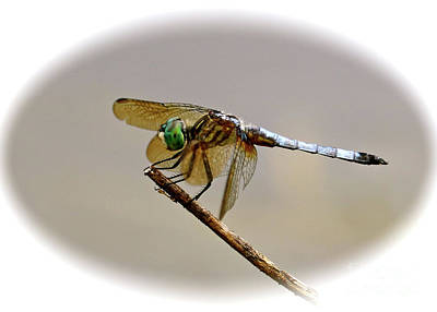 Photograph - Dragonfly Cameo by Carol Groenen