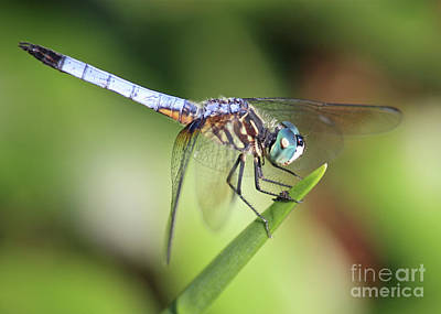 Photograph - Dragonfly Captures Tiny Cockroach by Carol Groenen