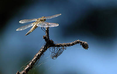 Photograph - Dragonfly by Chris LeBoutillier