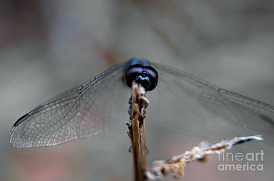 Photograph - Dragonfly Closeup by Michelle Meenawong