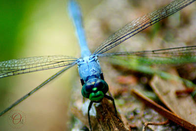 Photograph - Dragonfly Closeup by Shelley Overton
