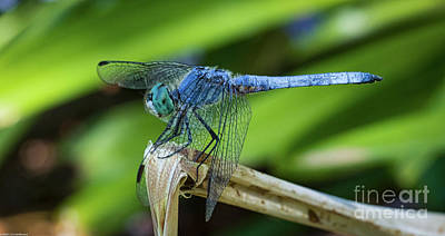 Photograph - Dragonfly Color by Mitch Shindelbower
