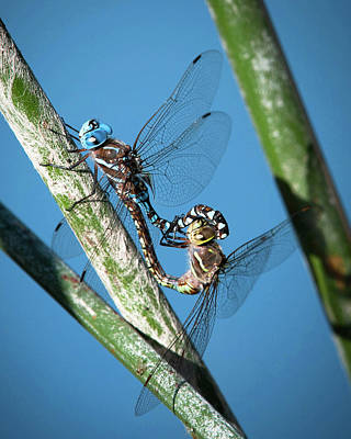 Photograph - Dragonfly Couple 2 by Catherine Lau
