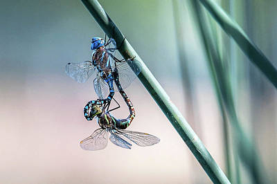 Photograph - Dragonfly Couple by Catherine Lau