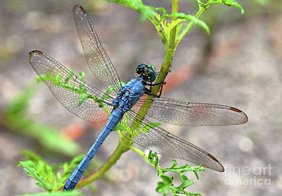 Photograph - Dragonfly Delight by Nanette OHara