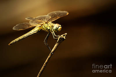 Photograph - Dragonfly by Dimitar Hristov