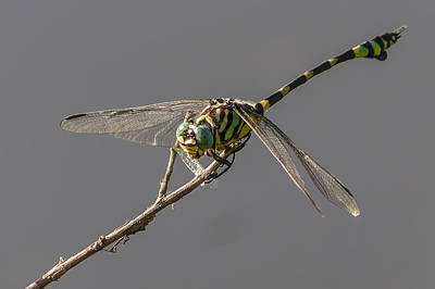 Tiger Dragonflies Photograph - Dragonfly Dinner by Teale Britstra
