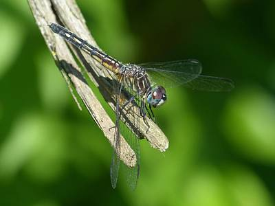 Wall Art - Photograph - Dragonfly by Donna Papps