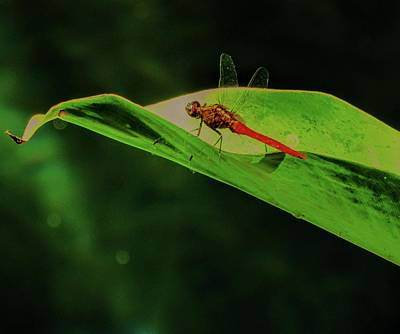 Photograph - Dragonfly by Duncan Davies