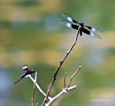 Photograph - Dragonfly Duo by Kerri Farley