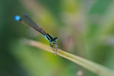 Photograph - Damselfly's Lunch by Christopher L Thomley