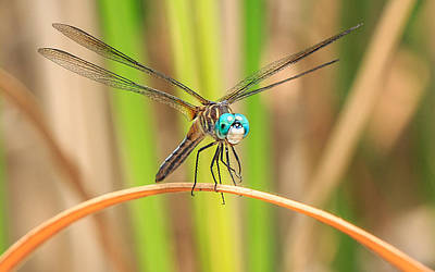 Macro Dragonfly Photograph - Dragonfly by Everet Regal