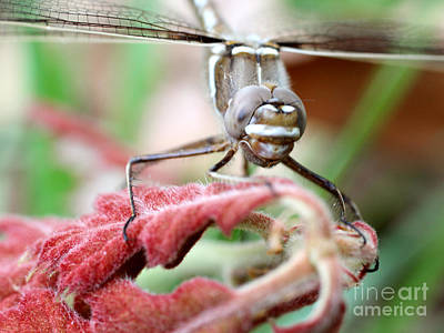Photograph - Dragonfly Face To Face by Adam Long