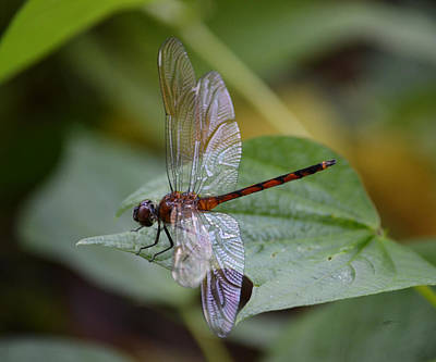 Photograph - Dragonfly - Four Spotted Pennant by rd Erickson