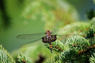 Photograph - Dragonfly by Gary Hall