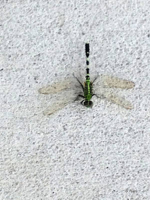 Painting - Dragonfly by George Pedro