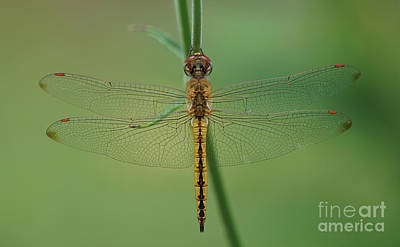 Photograph - Dragonfly Gold by Robert E Alter Reflections of Infinity