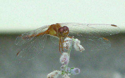Photograph - Dragonfly Greetings by Margie Avellino