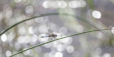 Photograph - Dragonfly Heaven by Penny Meyers