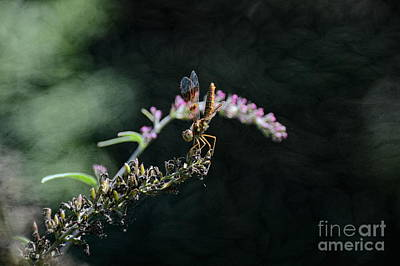 Photograph - Dragonfly II by Robyn King