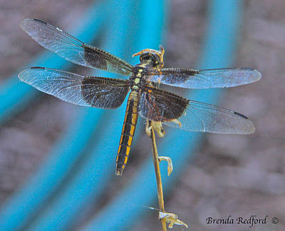 Photograph - Dragonfly In Blue by Brenda Redford