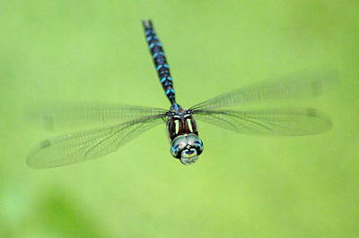 Photograph - Dragonfly In Flight 4 by Ben Upham III
