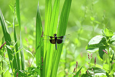 Photograph - Dragonfly In Garden3 by Ronda Ryan