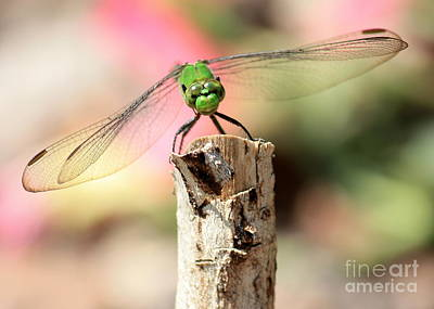 Photograph - Dragonfly In The Petunias by Carol Groenen