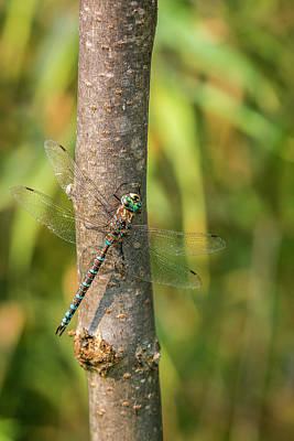 Photograph - Dragonfly by Irwin Seidman