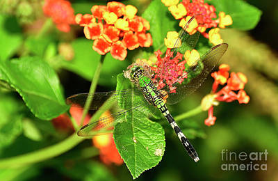 Photograph - Dragonfly by Kathy Baccari