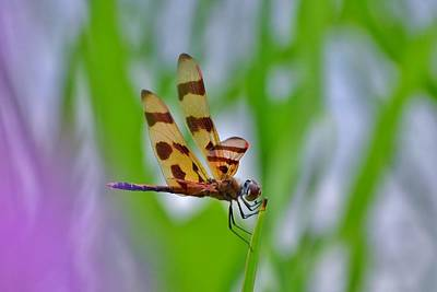 Photograph - Dragonfly by Kim Bemis