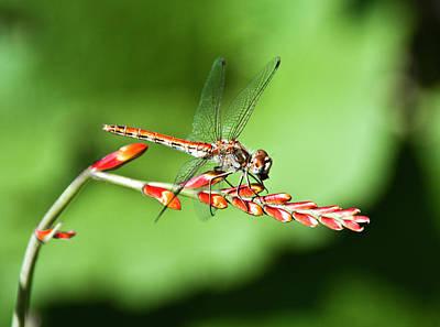 Photograph - Dragonfly  by Svetlana Batalina
