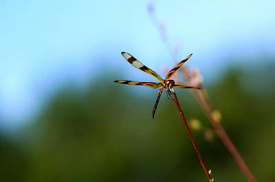 Photograph - Dragonfly Landing by Christopher L Thomley