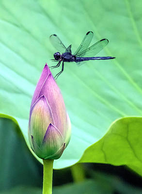 Photograph - Dragonfly Landing On A Lotus Blossom by William Bitman