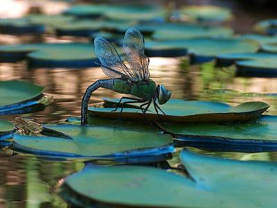Dragonfly Laying Eggs Art Print by Gt