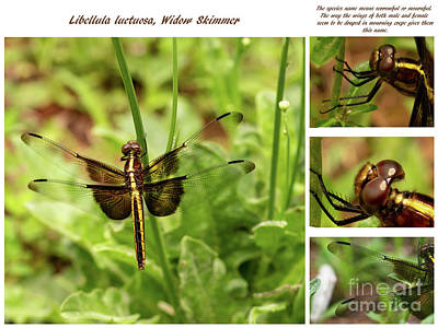 Photograph - Dragonfly Libellula Luctuosa  Widow Skimmer by Sandra Clark