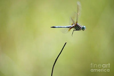 Dragonfly Photograph - Dragonfly Liftoff by Carol Groenen