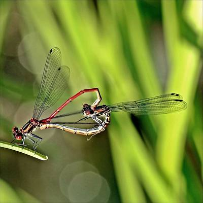 Dragonflies Mating Photograph - Dragonfly Love by Soul-images