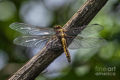 Photograph - Dragonfly Macro by Darleen Stry